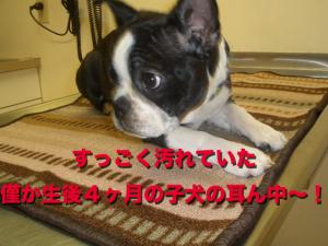 すっごく汚れていた僅か生後4ヶ月の子犬の耳ん中〜!