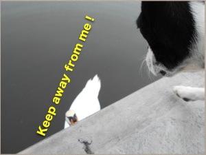 猫みたいな白鳥の威嚇 Keep away from me!